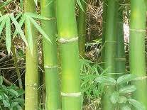 El bambú es fuerte y a la vez flexible.
