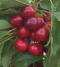 La cereza cerezo beneficios y propiedades vida ok for Viveros del sureste