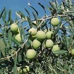 Aceituna vs oliva. Para alimentarte y sanarte. Test de la aceituna.