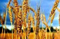 Germen de trigo un gran alimento.