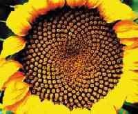 La energía del sol en las pepas de girasol.